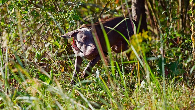 The Keystone Chapter of the North American Versatile Hunting Dog Association met at the York Springs game lands recently for a training day. Ace, a Weimaraner, searched for a bird in the middle of a hunt.