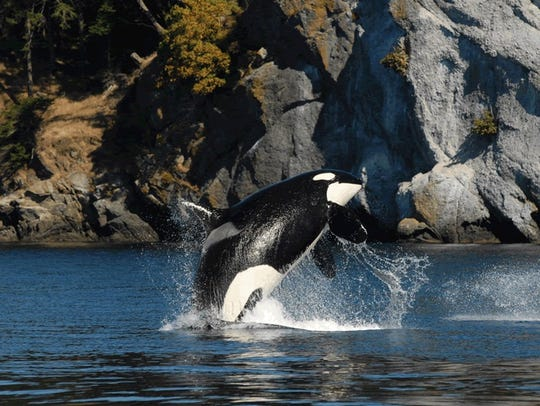 J2 or Granny, the oldest known J pod orca, died in 2017. The population of the Southern Resident orca pods is down to 76.