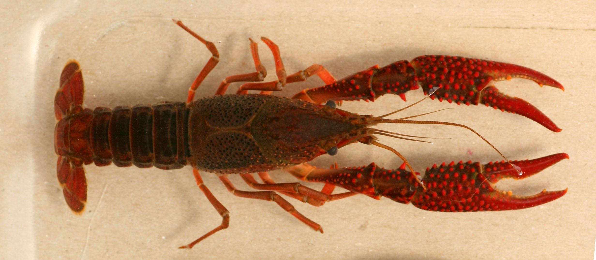 Where are crayfish found