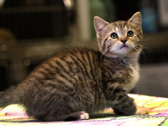 A kitten at the the Somerset Regional Animal Shelter in Bridgewater on Wednesday, Jan. 21.