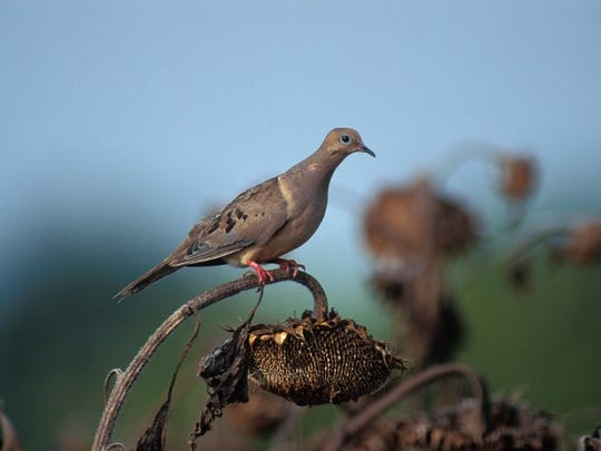 A mourning dove perched on a sunflower. A field of