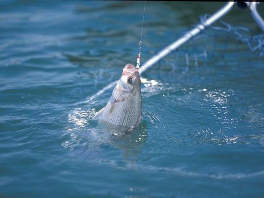 Netting a fighting white bass.