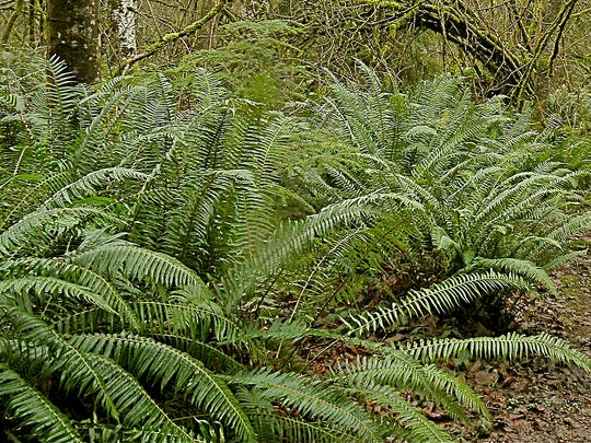 Western swordfern is a native species and a solid garden performer.