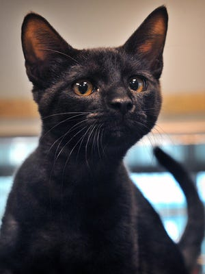 Cosmo is a 6-month-old, black ghost tabby, domestic short-haired cat. He is very friendly and playful and is available for adoption at the Wichita Falls Animal Services Center.