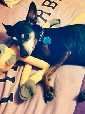 Stitch, a 12-year-old male miniature pinscher, was shot in the head while in an enclosed backyard in North Albuquerque Acres.