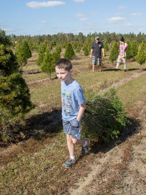 Nine-year-old Caden Mason, of Pace, drags his family's freshly cut tree to their vehicle Nov. 24 at the Whispering Pines Christmas Tree Farm in Milton.