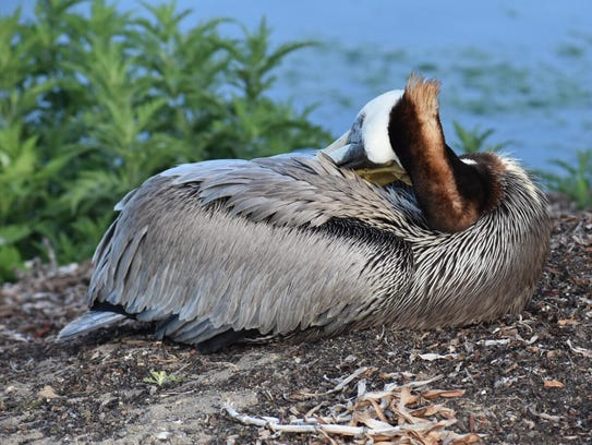 A lethargic, ill pelican sits beside a pond near the