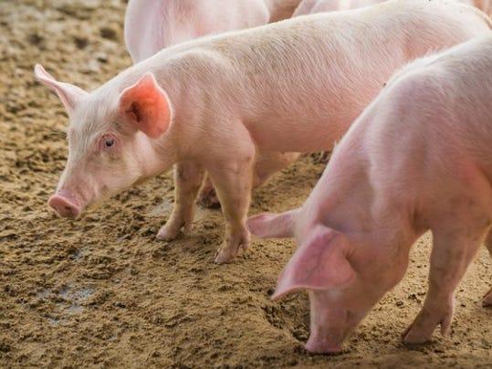 pigs_large.jpg