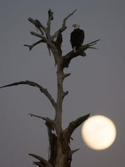 The moon rises over North Fort Myers has one of the famous bal eagles from Southwest Florida Eagle Cam fame perches on a dead tree on Tuesday evening.  A few minutes before this photo was taken, Harriet was seen mating with her new beau, M15.   Southwest Florida Eagle Cam watchers are waiting to see if the two will have offspring.  #eagle @swfleaglecam #harriet #baldeagle #ozzie #fullmoon #moon #sunset #eagles #