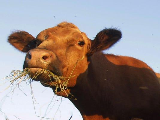 635769111770761647-LAFBer-05-31-2013-JC-1-A010--2013-05-30-IMG-cattle.jpg-4-1-L74996SU-L235430329-IMG-cattle.jpg-4-1-L74996SU