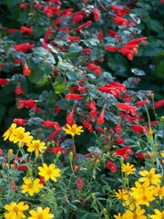 The red misplaced sage, Salvia disjuncta, and Copper Canyon daisy, Tagetes lemmonii, create a wonderful fall combination.