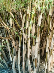 Bamboo muhly stems do resemble bamboo canes.