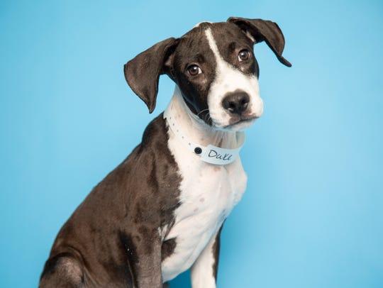 Duke is available for adoption at the Arizona Humane