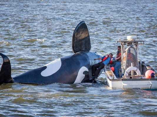 BC-OR--Replica Whale