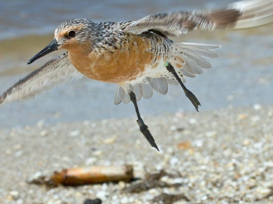 Red knots are endangered in New Jersey, and by 2007 their population was as low as 13,000, down from about 90,000 in the 1980s.