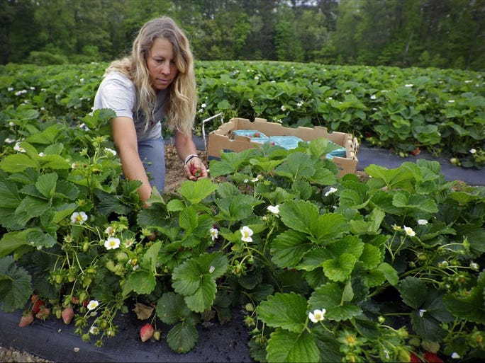 Shannon Meadows of Mountain Meadows Farm picks strawberries as the start of strawberry season kicks off Tuesday, April 26, 2016, in Heiskell, Tenn.