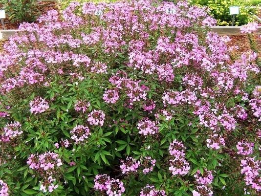 CleomeSenoritaRosalitaplant.jpg