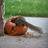 How to keep squirrels from eating your pumpkins
