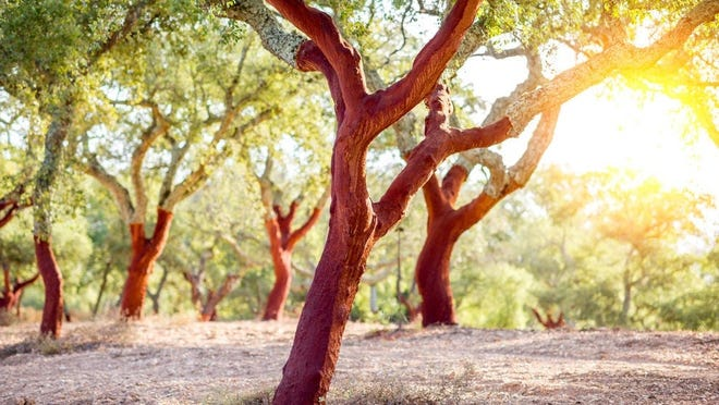 Cork grows naturally on trees throughout the Mediterranean, particularly on the Iberian Peninsula where 80% of the world's cork is produced.