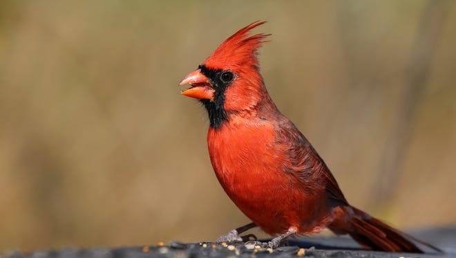 A Male Northern Cardinal