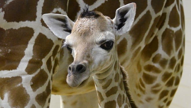 Penny, a giraffe calf from Cheyenne Mountain Zoo, was euthanized Monday night due to health concerns.