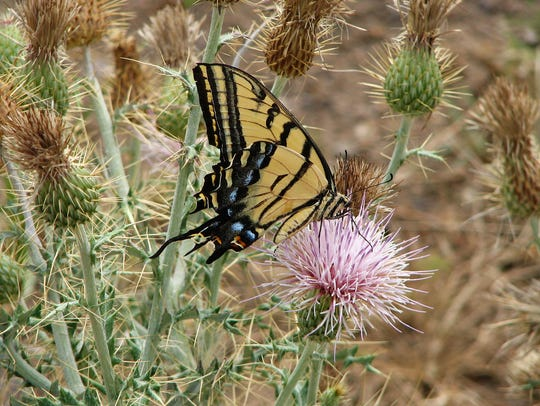 Two-tailed swallowtail visiting a thistle flower.
