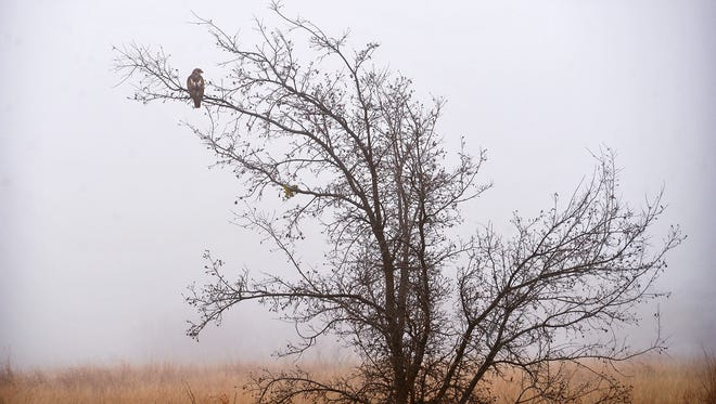 A red-tailed hawk watches over a foggy field off Hatton Road early Monday morning.