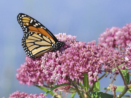 "The Monarch butterfly is sometimes called the ""milkweed butterfly"" because its caterpillars exclusively eat the stems, leaves and flower buds of the plant."
