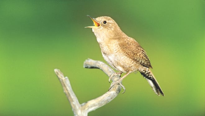 The house wren is one of a few bird species that are polygynous, which means that one male forms pair bonds with numerous females.