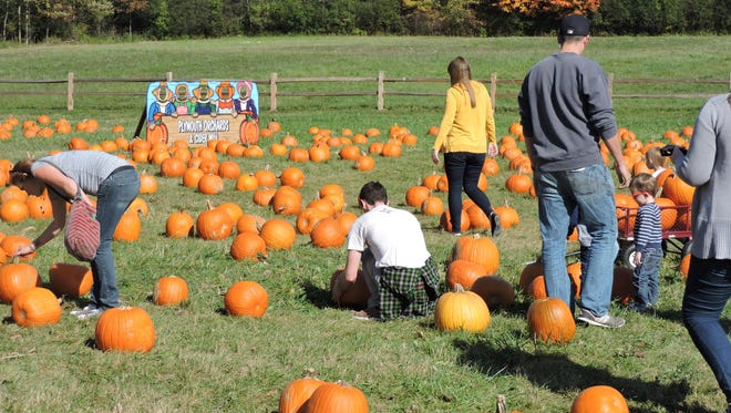 Visitors to Plymouth Orchards & Cider Mill search for pumpkins in the U-pick pumpkin patch in this file photo. The orchard in Superior Township announced it would not open for the 2020 season due to the COVID-19 pandemic.