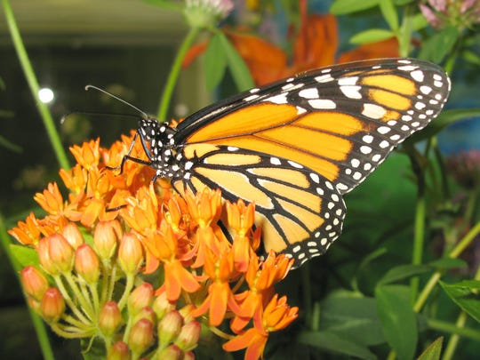 A monarch butterfly feeds on nectar from a flowering milkweed in mid-July in Norwich. The insect's liquid diet isn't restricted to this plant species, however.