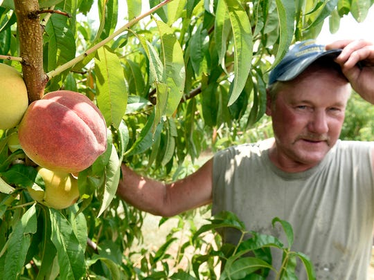 Ed Tracey checks on his Flaming Gem peaches on Monday, July 25, 2016 at Tracey's Orchard on Hollywell Church Road, Greencastle. Warmer than usual weather in March followed by a cool April may have negatively affected this year's peach crop.
