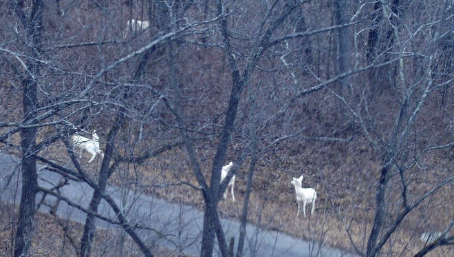 These white deer at former Seneca Army Depot were located during an aerial survey conducted by Seneca White Deer, Inc., on Feb. 2, 2016.