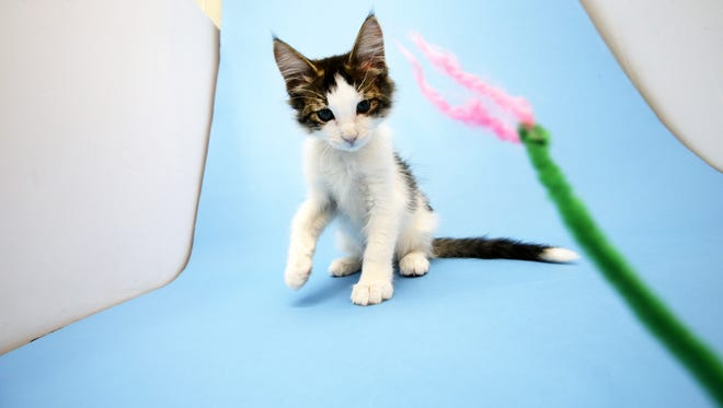 Props are used to react with a kitten during a photography session at the Arizona Humane Society on Sep. 20, 2017 in Phoenix, Ariz. The photographs will appear on the adoption website for the Arizona Humane Society.