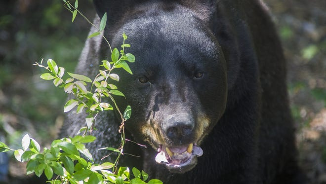 Weighing in at 550 pounds and standing 7 feet tall, this 23-year-old male Black Bear is a sight to see at the Tallahassee Museum.