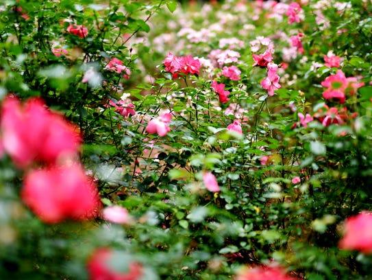 Stop and smell the roses shreveport for The gardens of the american rose center