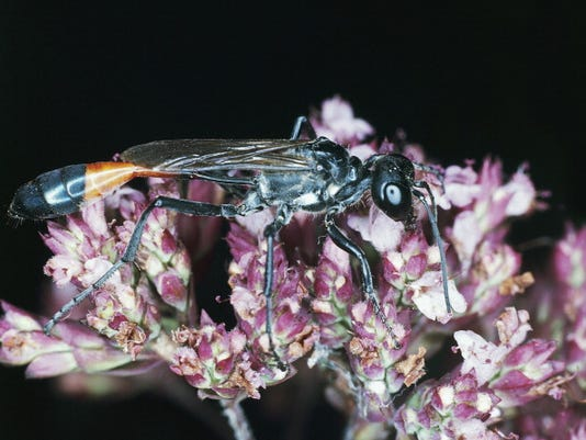 Red-banded sand wasp.