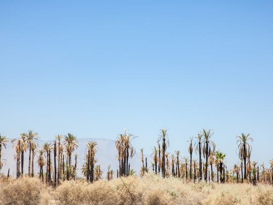 Rows of palm trees stretch across the landscape in