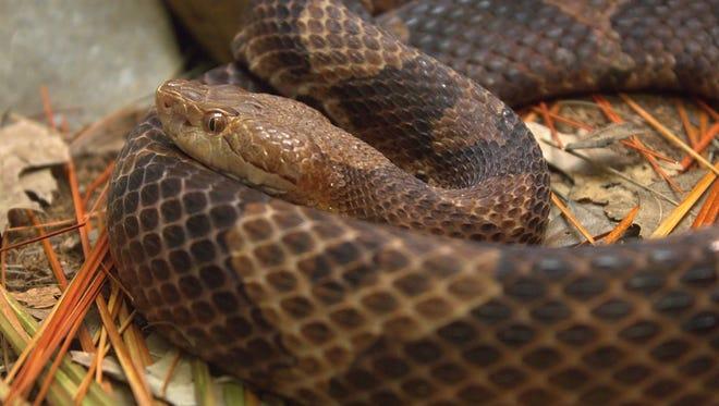 Copperhead snake at the Cincinnati Zoo.
