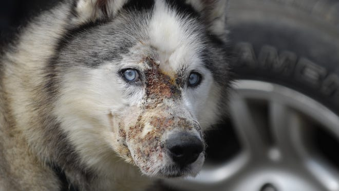 Logan, a husky owned by Matt Falk of Wales Township, died in July 2012, a few months after his face was burned by acid.