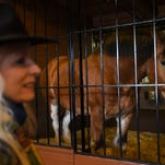 """Mary Kate Frizzell of Louisville checks out the Anheuser-Busch Clydesdales Monday, March 2, 2015 at the Anheuser-Busch Brewery in Fort Collins, CO. Frizzell came to the brewery solely to see the horses. """"I had to take the opportunity,"""" Frizzell said. """"The horses around here look like ponies (compared to the Clydesdales)."""""""