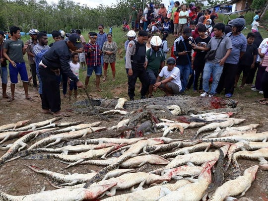 People look at the carcasses of crocodiles slaughtered