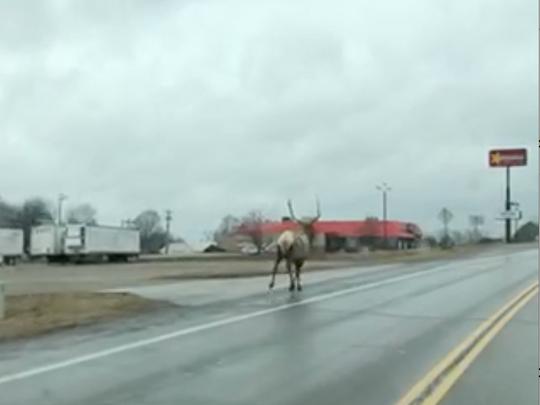 The elk took off running down a city street.
