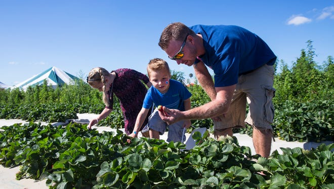 David Farlee, right, shows a freshly picked strawberry to his son Owen, 4, while his daughter Laila, 6, picks her own during the fifth annual Strawberry Festival at Farmer Mike's U Pick in Bonita Springs, Fla., on Sunday, Feb. 12, 2017.