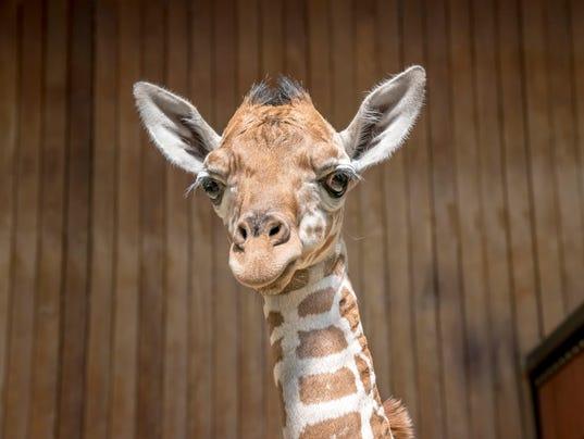 636403892115888372-Giraffe-Baby-09-2017-9128-E.jpg