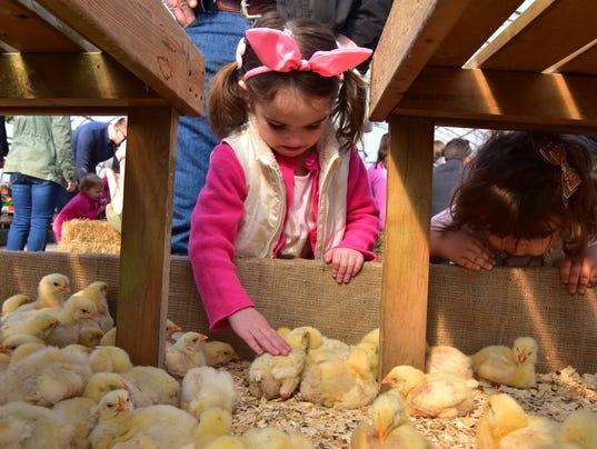 Chicks and Bunnies At Abma's Farm