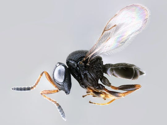 The Samurai wasp, or Trissolcus japonicus, is only about as large as the head of a pin.