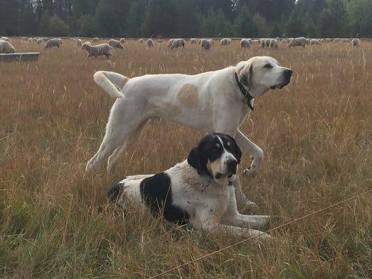 635839719938805787-guard-dog-transmontano.jpg