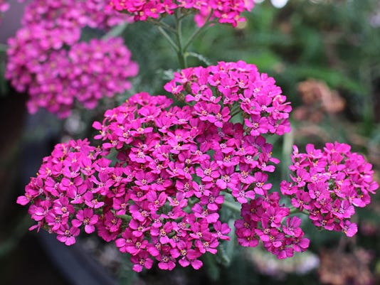 achillea-millefolium-rosa-maria-01.jpg