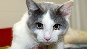 Joey is a handsome playful 2-year-old. He takes a little white to warm up, but once he does, he shows his real character.  He and other cats and dogs can be found at the Humane Society of North Central Arkansas. For more information, call (870) 425-9221.